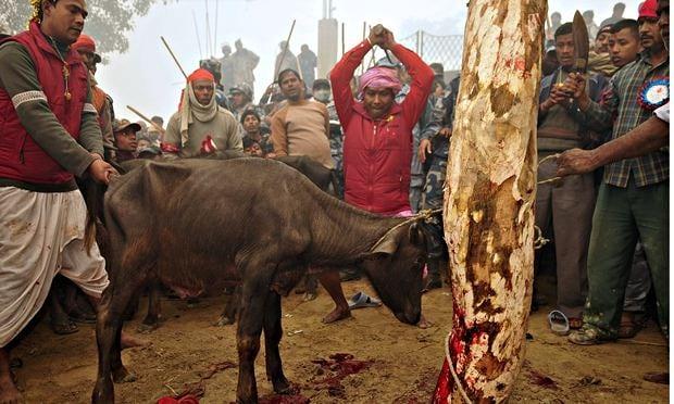 جشنواره خونین گادهیما درنپال